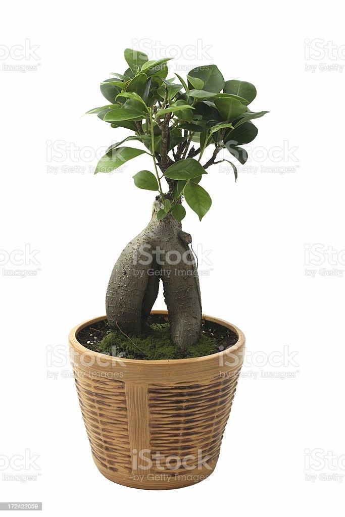 Bonsai stock photo