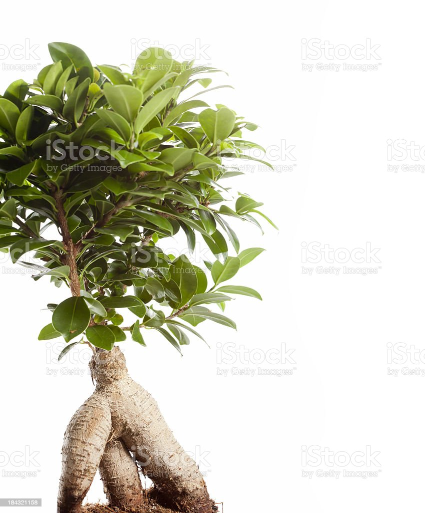Bonsai royalty-free stock photo