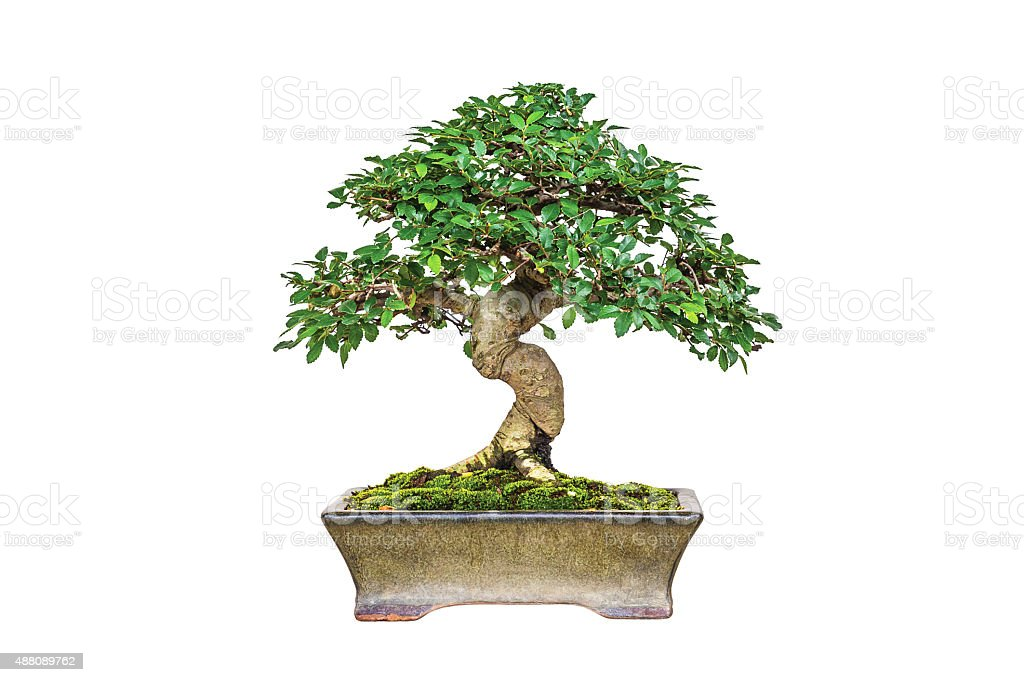 Bonsai - Photo