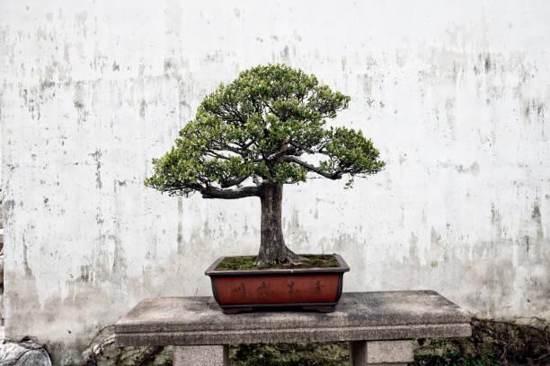 Bonsai  - Photo