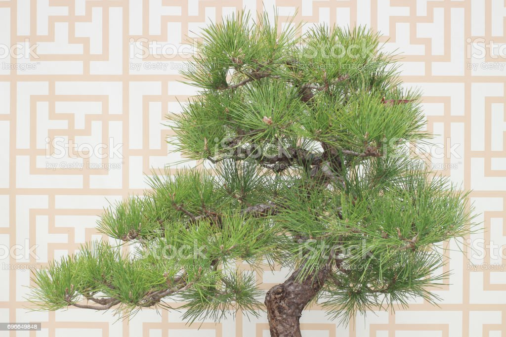 Bonsai Pine Tree Against A White Wall Stock Photo Download Image Now Istock