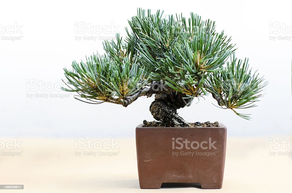 bonsai-Kiefer in einem traditionellen Tontopf – Foto