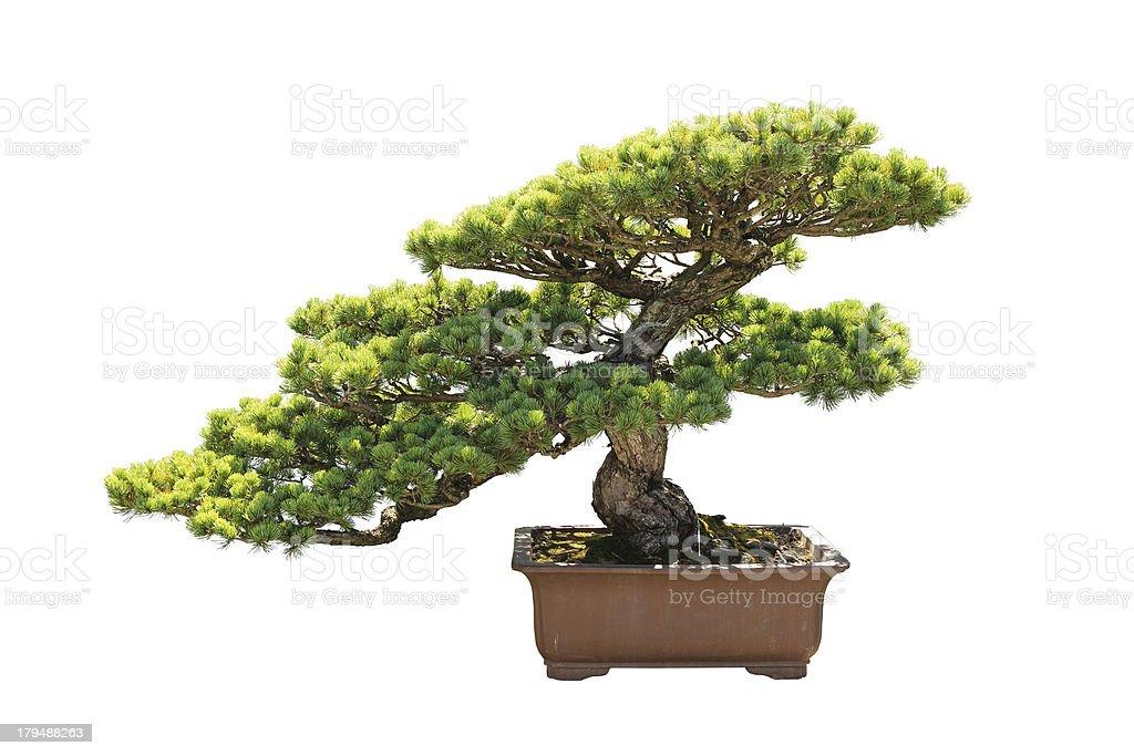 bonsai-Kiefer – Foto