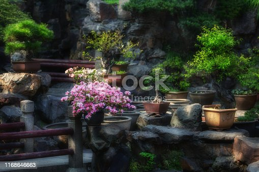 Bonsai plants in pots, camellia with pink flowers, among stones and rocks in Chinese-style garden