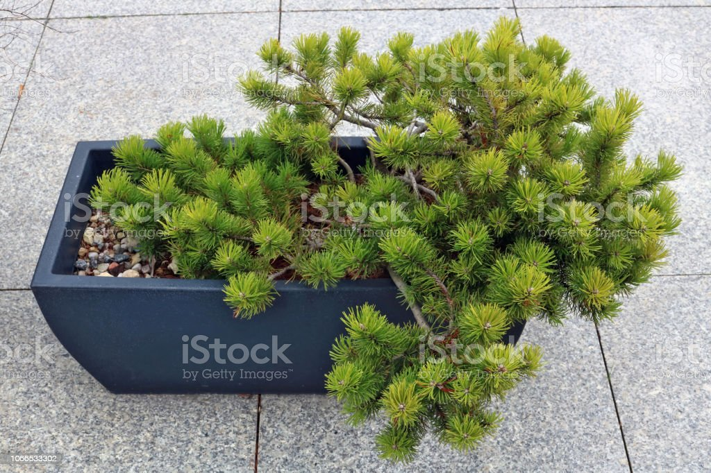 Bonsai Style Pine Tree Grow In A Ceramic Box On A Gray Granite European City Pavement Stock Photo Download Image Now Istock