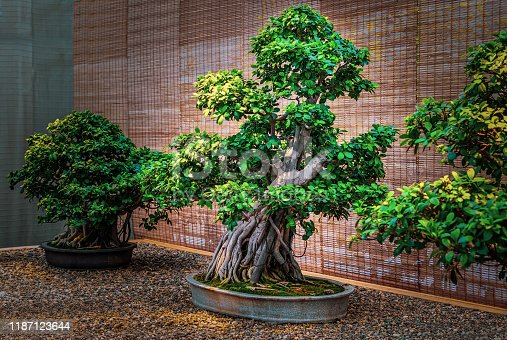 istock Bonsai tree. Beautiful small pipal tree 1187123644