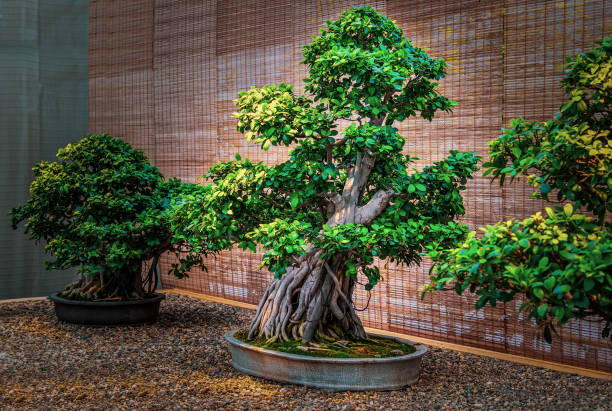 120 Banyan Tree Bonsai Background Stock Photos Pictures Royalty Free Images Istock