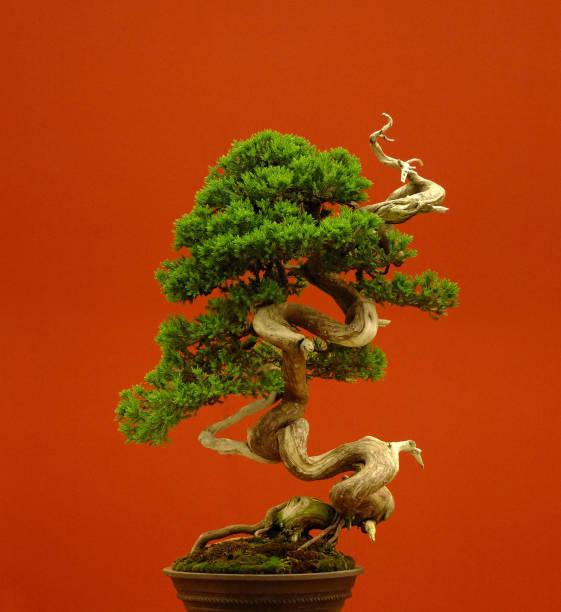 gros plan sur fond rouge d'arbre bonsaï - Photo
