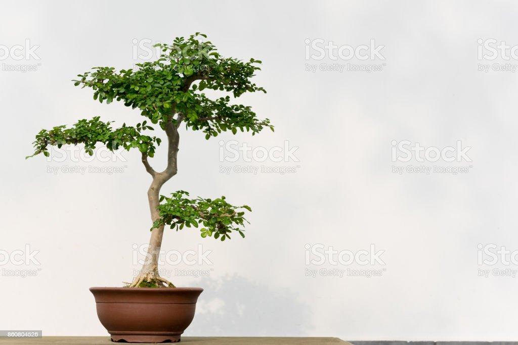 Bonsai-Baum in einem Topf gegen eine weiße Wand – Foto