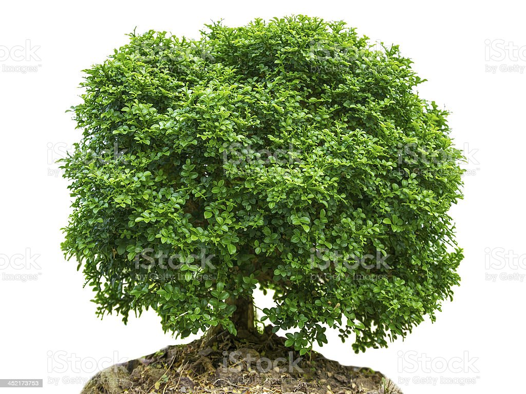 bonsai tree in garden isolated on white royalty-free stock photo