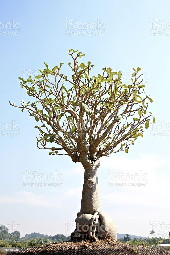 bonsai tree in garden. royalty-free stock photo