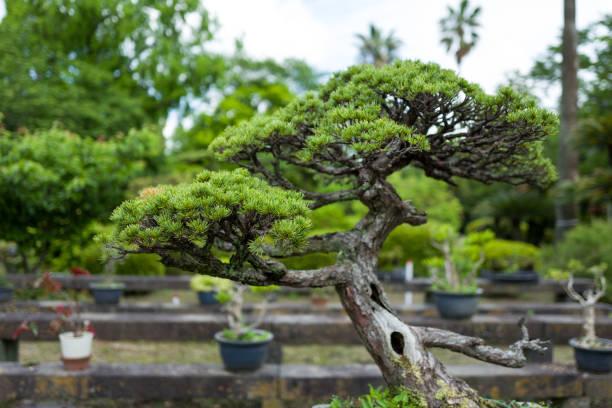 Bonsai Tree in Kumamoto stock photo