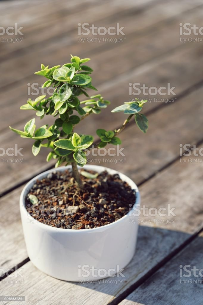 Bonsai tree in little white pot plant stock photo more pictures of bonsai tree in little white pot plant royalty free stock photo mightylinksfo