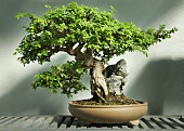Beautiful Bonsai tree hugging a rock. This is a 40 years old Chinese elm bonsai. High dynamic range for details in both highlights and shadows.