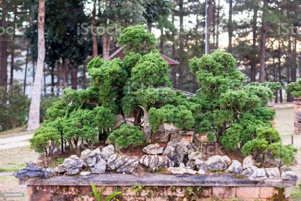 Bonsai tree in the garden stock photo