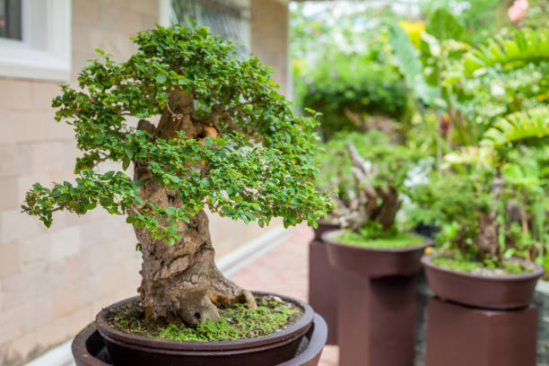 Bonsai tree in the Japanese Garden stock photo