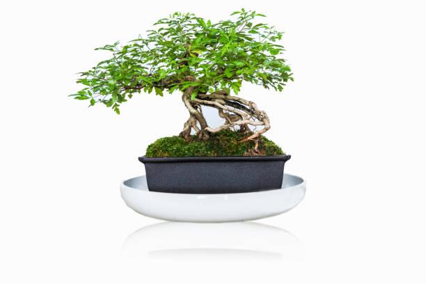 Bonsai-Baum isoliert auf weißem Hintergrund. – Foto