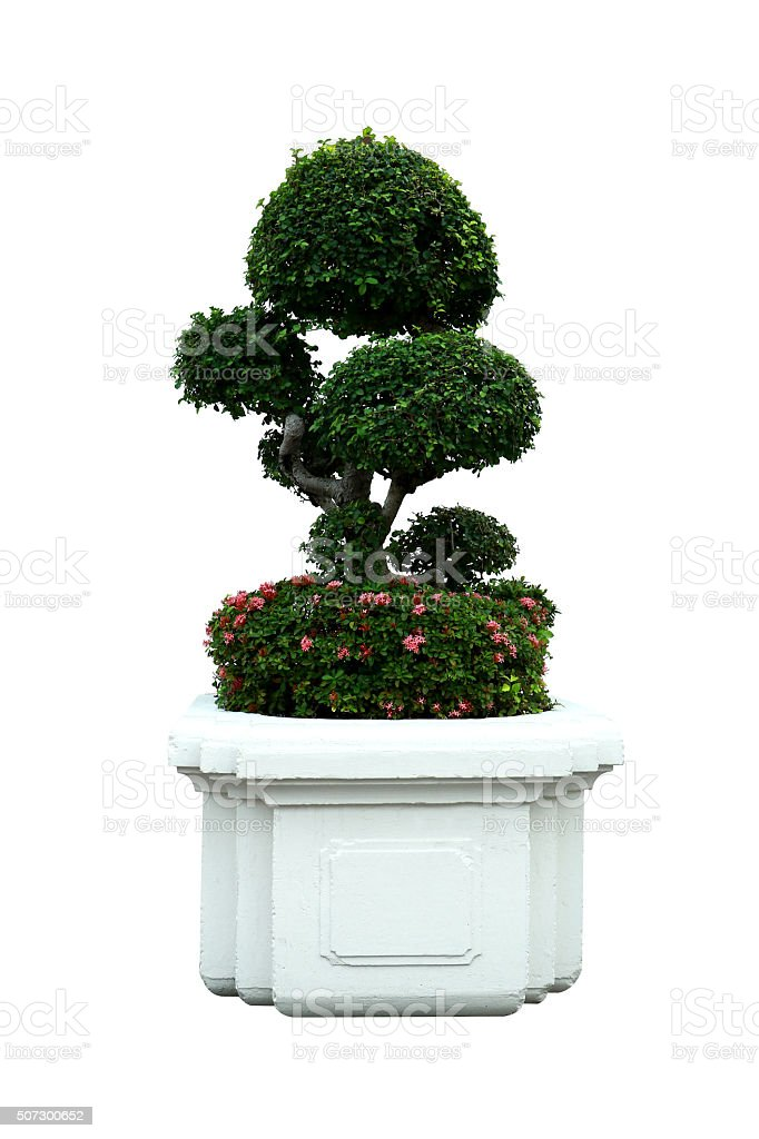bonsai tree ixora in a ceramic pot on isolated royalty free stock photo
