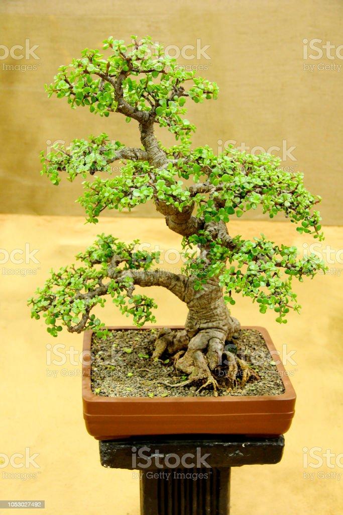 Bonsai Tree Jade Portulacaria Afra Bonsai Tree Exhibition Pune Stock Photo Download Image Now Istock