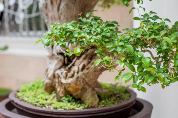 Bonsai tree leaves close-up stock photo