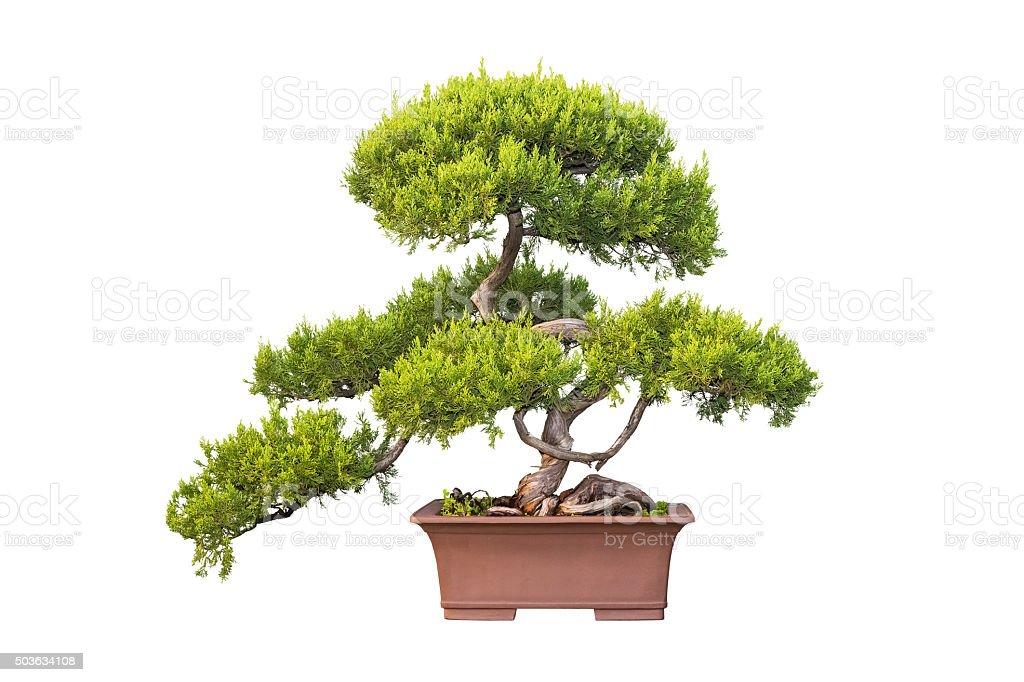 Bonsai Tree Of Chinese Juniper Stock Photo Download Image Now Istock
