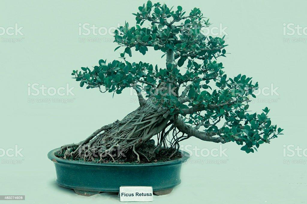 Bonsai Tree Of Ficus Retusa tree, India stock photo