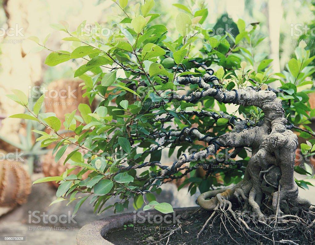 Bonsai tree outdoors royalty-free stock photo