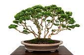 Japanese bonsai miniature tree in ceramic pot isolated on white background