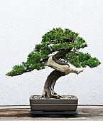 A bonsai tree in a ceramic pot.