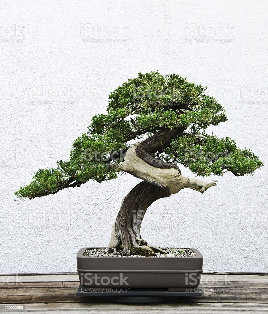 Bonsai tree – Foto