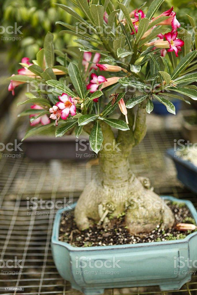 Bonsai Tree Stock Photo Download Image Now Istock