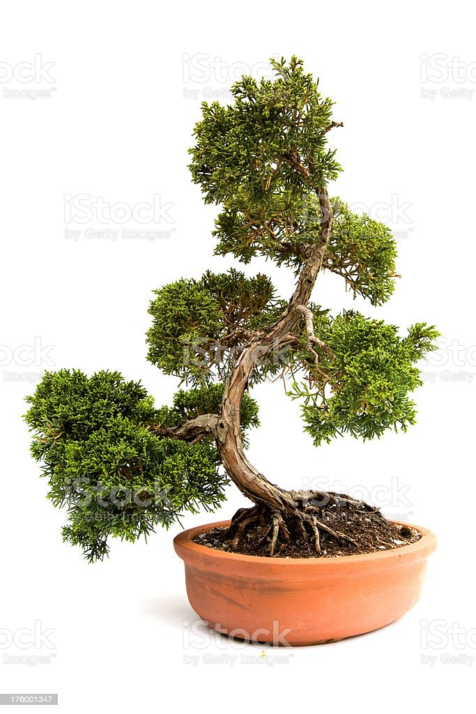 Bonsai Tree A small bonsia tree in a ceramic pot. Isolated on a white background. Art Stock Photo