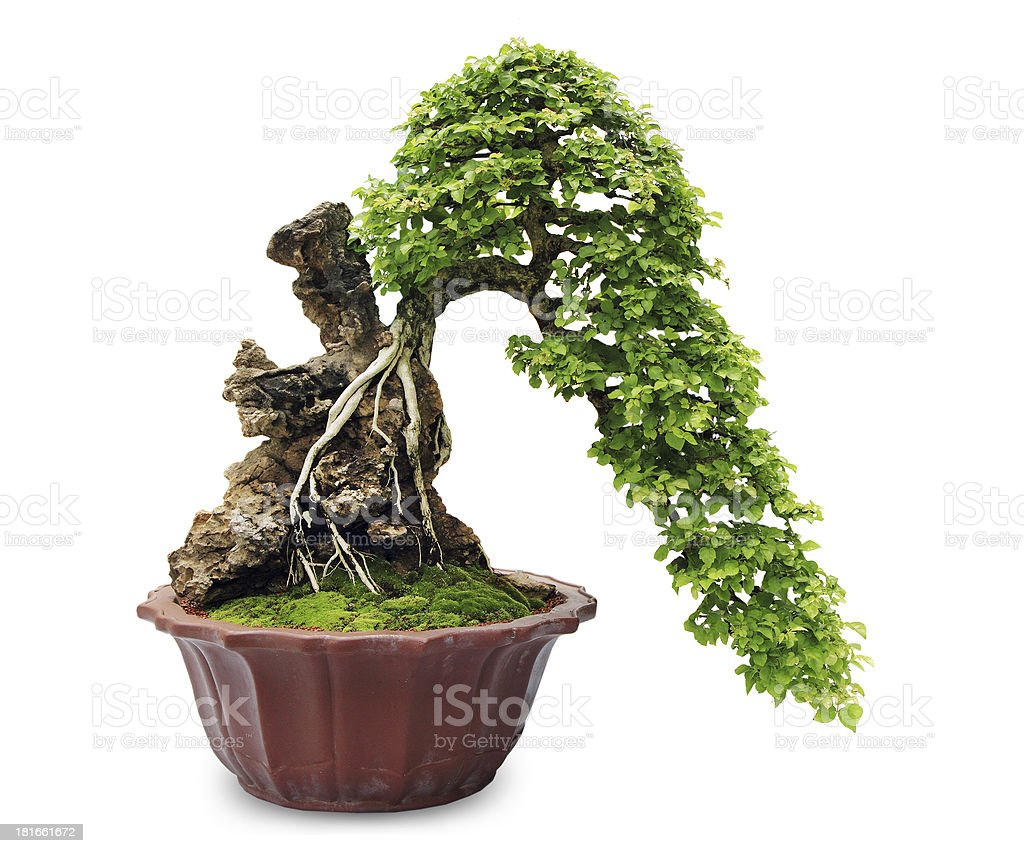 Bonsai tree – Foto