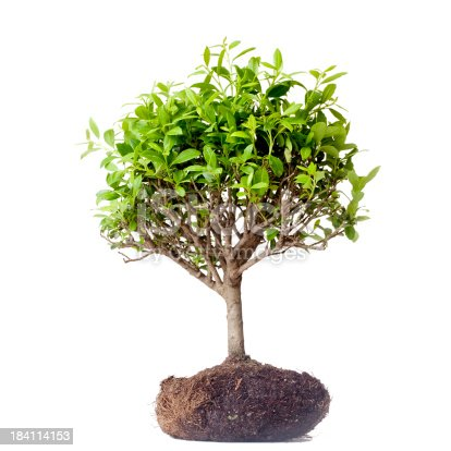 Bonsai tree is on the isolated white background.