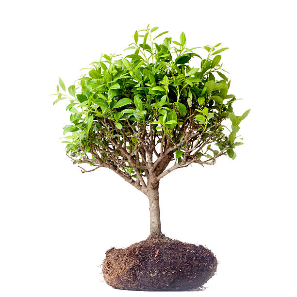 bonsai tree - tree roots stock pictures, royalty-free photos & images