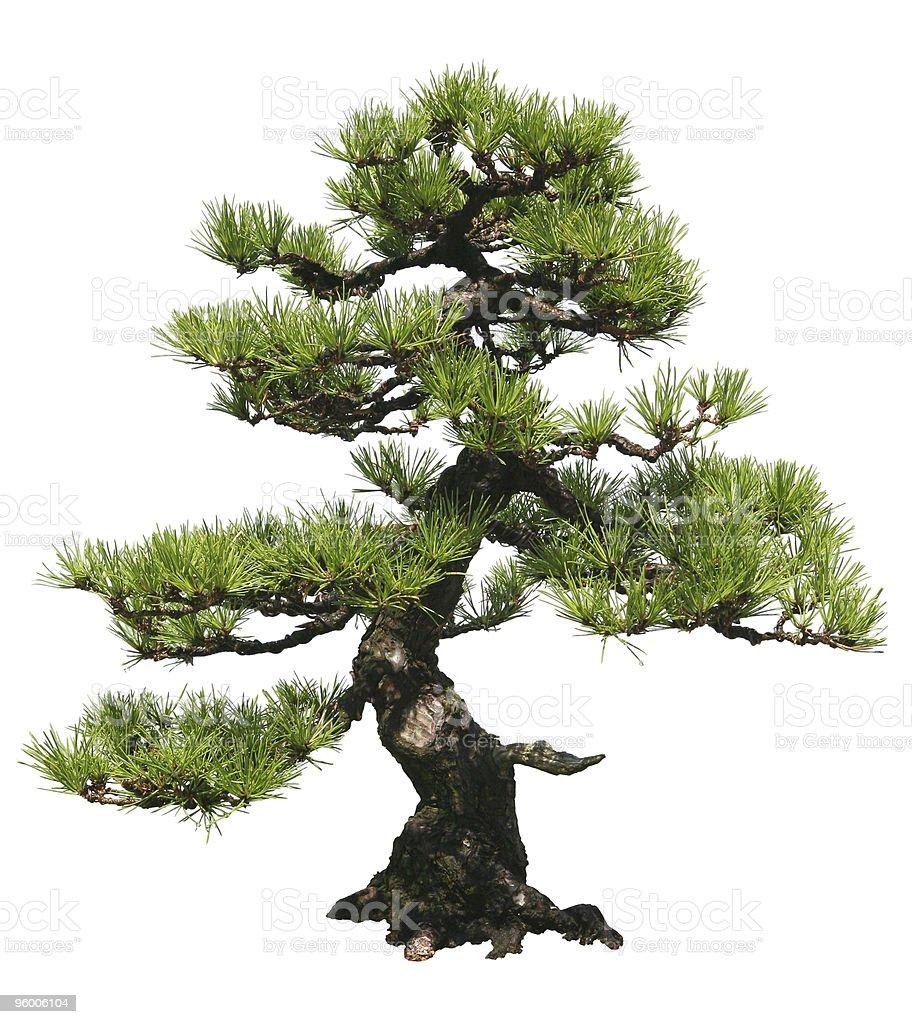 Bonsai Baum – Foto