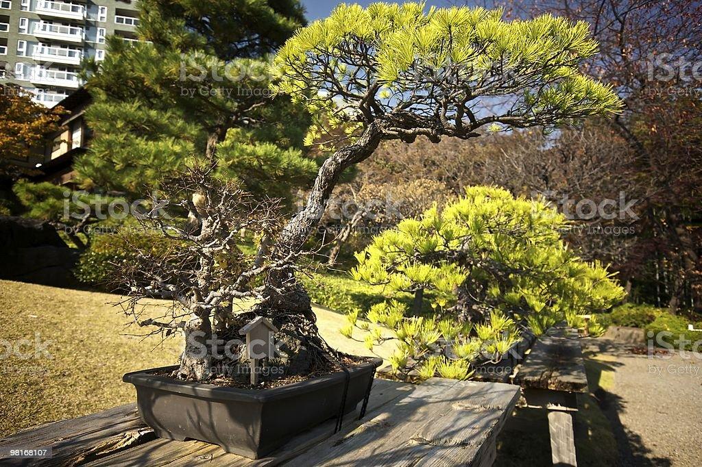 Bonsai 나무 royalty-free 스톡 사진