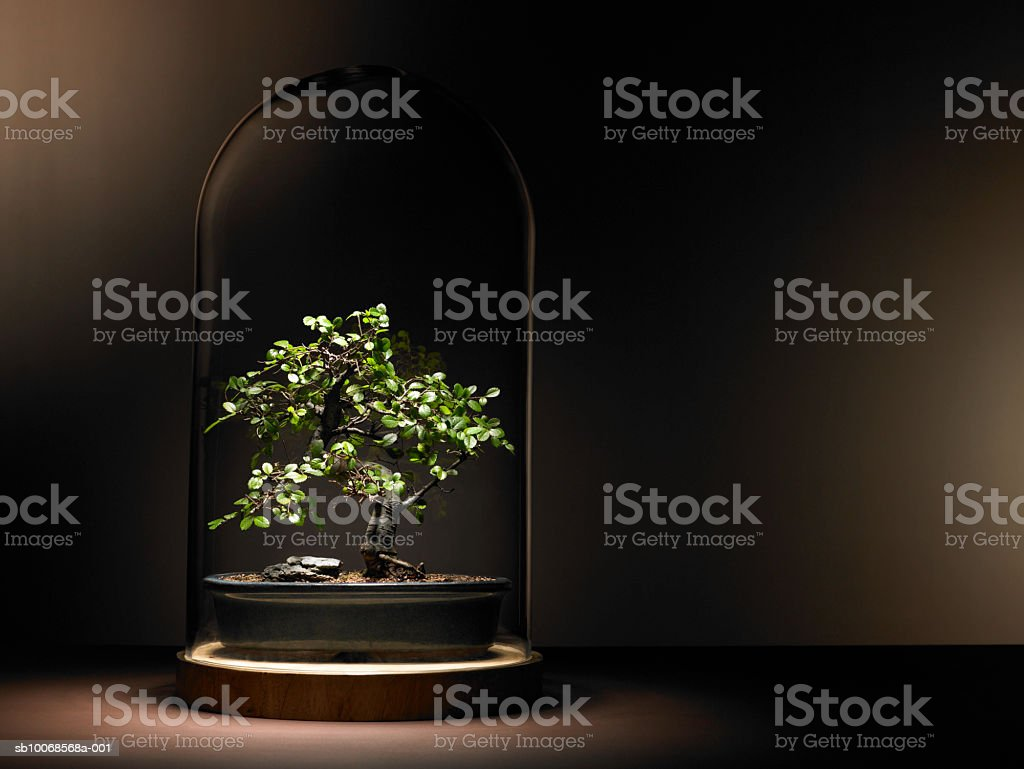 Bonsai tree under glass dome royalty-free stock photo
