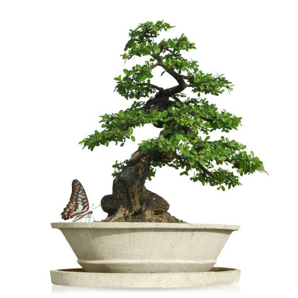 bonsaï avec papillon isolé - Photo