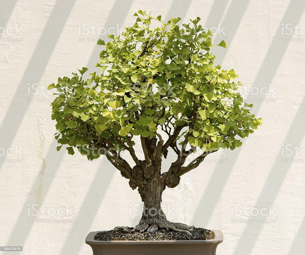 Bonsai tree with diagonal shadows royalty-free stock photo