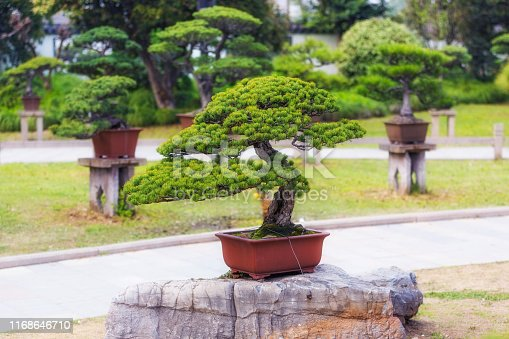 Coniferous bonsai trees in pots on stones in a Chinese style park in Shaghai city
