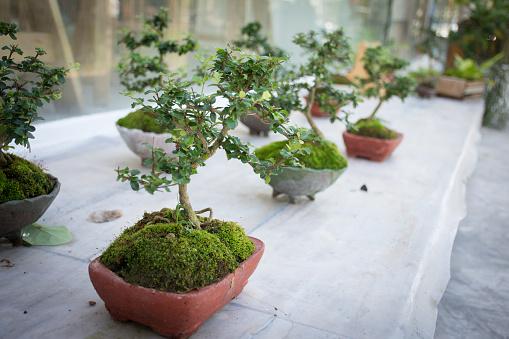 Bonsai trees on the table.