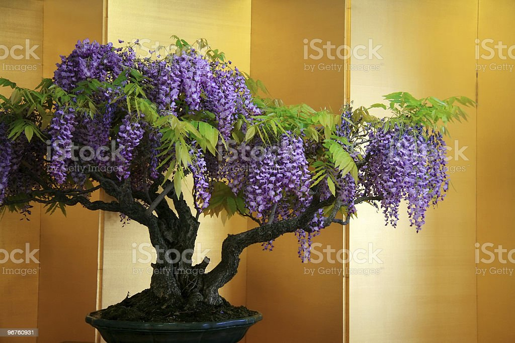 Bonsai wisteria royalty-free stock photo