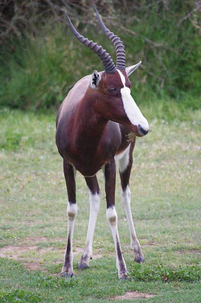 bontebok antelope grazing - blesbok stockfoto's en -beelden