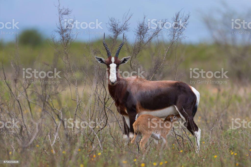 Bontebok mother and calf standing in fynbos habitat stock photo