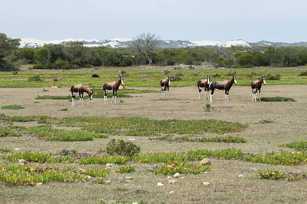 bonteboks in de hoop nature reserve - nature reserve stock photos and pictures