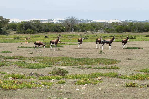bonteboks в de обруч заповедник дикой природы - заповедник дикой природы стоковые фото и изображения