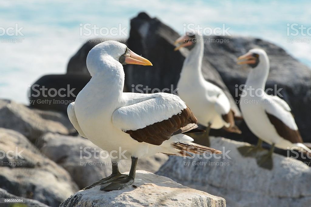 Booby Looks Back royalty-free stock photo
