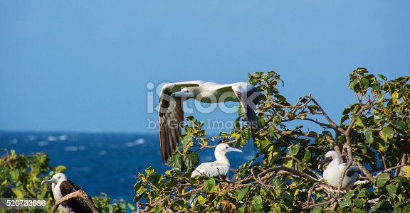 Red-footed boobies and a female frigate bird with the Caribbean Sea in the background. Lighthouse Reef Atoll, Belize.