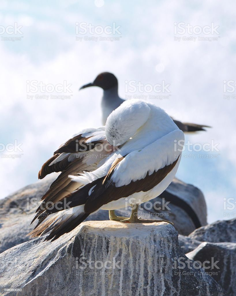 Booby with Seagull royalty-free stock photo